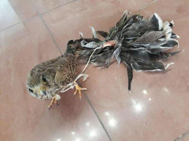 شکارچی بازهای شکاری در نوار مرزی گلستان دستگیر شد