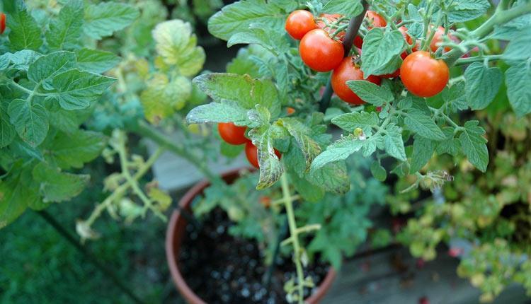 آموزش کاشت گوجه فرنگی در خانه