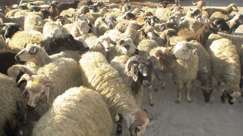 خبرنگاران 160 راس دام قاچاق در استان کرمانشاه کشف شد