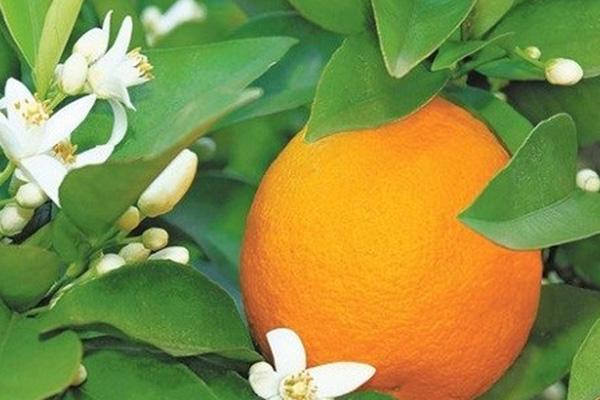 خواص آب نارنج در طب سنتی چیست؟